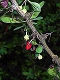 Berberis thunbergii Microphylla 2016-04-19 7563.jpg