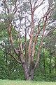 Berlin Naturdenkmale Bezirk Spandau Gatow Gemeine Kiefer ND 5-38 B 001.JPG
