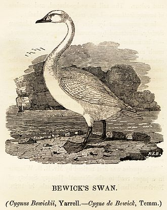 Robert Bewick - Woodcut by Robert Elliot Bewick of Bewick's swan, named after his father by William Yarrell.