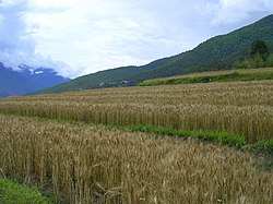 Terraced farming in the Punakha valley.