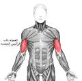 Biceps brachii-arabic.png