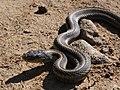 Big Sur Snake.JPG