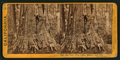 Big Tree - Wm. Cullen Bryant, near view. Calaveras Group, by Lawrence & Houseworth.png