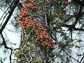 Bignonia capreolata.jpg