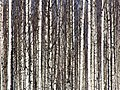 Birches Pateniemi 20060430.JPG