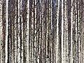 Birches Pateniemi 20060430.JPG