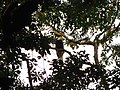 Bird Great Hornbill Buceros bicornis IMG 8659 27.jpg