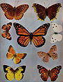 Birds Illustrated Butterflies 0401.jpg