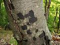 Biscogniauxia nummularia 37757.jpg