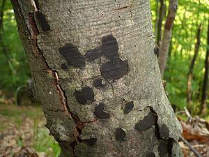 Biscogniauxia nummularia - Image: Biscogniauxia nummularia 37757