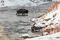 Bison crossing the Gardner River (3998e831-0b4a-46e9-a8a5-f4c7cc551afb).jpg