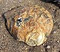 Bivalve shell.jpg