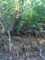 Black-Mangrove pneumatophores (5601432934).png