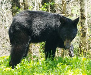 English: Wild black bear hunting near the summ...