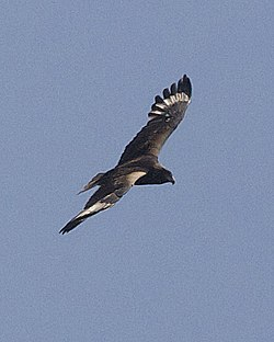 Black-breasted Buzzard (Hamirostra melanosternon) - Flickr - Lip Kee (1).jpg