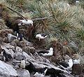 Black-browed Albatross flying over West Point Island (5545939882).jpg