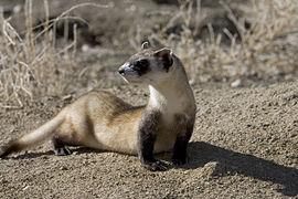 Black-footed ferret (5674044510)