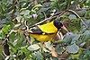Black-hooded oriole (Oriolus xanthornus).jpg