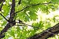 Black-throated green warbler (33530868054).jpg