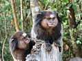 Black-tufted marmoset Belo Horizonte Zoo 1.jpg