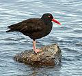 Black Oystercatcher (Haematopus bachmani).jpg