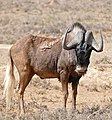 Black Wildebeest (Connochaetes gnou) (31746882054).jpg