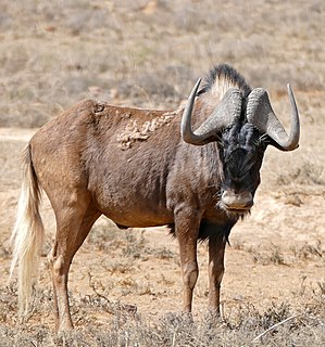 Black wildebeest species of mammal