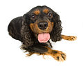Black and Tan Cavalier King Charles Spaniel 01.jpg