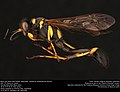 Black and Yellow Mud Dauber (Sphecidae, Sceliphron caementarium (Drury)) (36164276721).jpg