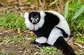 Black and white Ruffed Lemur (24686649509).jpg