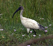 220px-Black_headed_ibis.jpg