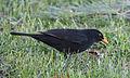 Blackbird in Madrid (Spain) 11.jpg