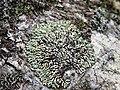 Blattflechte Menegazzia terebrata OhWeh-004.jpg