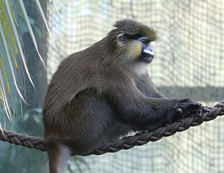 Moustached guenon Species of Old World monkey