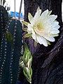 Blooming cactus flower.jpg
