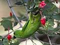 Blue-crowned Hanging-Parrot (Loriculus galgulus) (8730184673).jpg