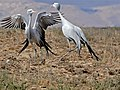 Blue Cranes (Anthropoides paradiseus) couple parading ... (29959840901).jpg