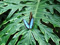 Blue Morpho butterfly at Niagara Parks Butterfly Conservatory, 2010 D.jpg