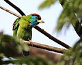 Blue Throat Barbet at sodepur.jpg