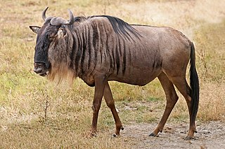 Wildebeest antelope of the genus Connochaetes