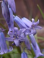 Bluebells, 2020-05-05, Beechview, 03.jpg