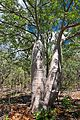 Boab (Adansonia gregorii) - Nitmiluk NT.jpg