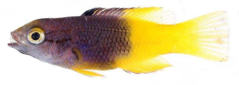 File:Bodianus rufus juvenile.jpg