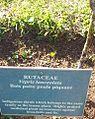 Bois Patte Poule Piquant - Vepris Lanceolata - MonVert arboretum 2.jpg