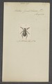 Bolax - Print - Iconographia Zoologica - Special Collections University of Amsterdam - UBAINV0274 021 04 0002.tif