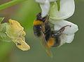 Bombus hortorum Phaseolus coccineus, tuinhommel pronkboon.jpg