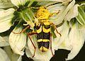 Borer Beetle - Clytus planifrons, Lassen Volcanic National Park, Mineral, California.jpg