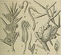 Botanische Jahrbücher für Systematik, Pflanzengeschichte und Pflanzengeographie (1904) (20394230252).jpg