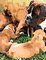 Boxerhunde Gemälde.jpg