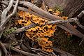 Bracket Fungus - Steiglitz, Victoria Australia (4804371256).jpg